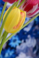 Macro of yellow and pink Tulips blooming on blue background