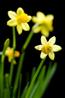 Bunch of daffodils isolated on black background.