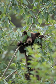 Young black bear Kanada , junger Schwarzbaer Kanada