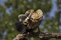 Indian vulture, Gyps indicus, Bandhavgarh national park, Madhya Pradesh, India.