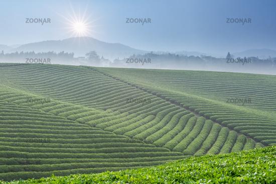 beautiful tea plantation and sunlight