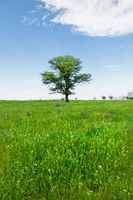 Spring landscape lonely green oak tree on a green field of lush grass against a blue sky background of sun rays and white clouds. The concept of ecology