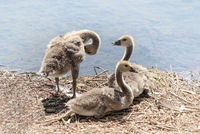 Canada Goose (Branta canadensis) chicks, June