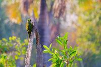 Red-bellied Macaw, Orthopsittaca Manilata, Lagoa das Araras, Bom Jardim, Nobres, Mato Grosso, Brazil, South America