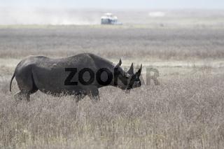 black rhinoceros or hook-lipped rhinoceros that walks along a dried savannah in the Ngorongoro crater