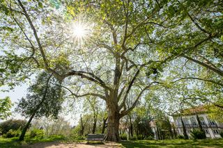 Branchy plane tree