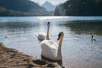 Beautiful white swans swim near the shore