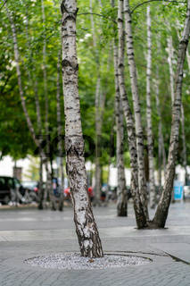 Birch trees planted in concrete floor