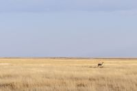 Springbok in the Etosha National Park, Namibia, Africa.