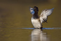 Tufted Duck * Aythya fuligula *, female spreading its wings