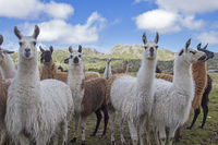 lamas in Norway