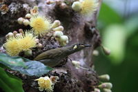 yellow-spotted honeyeater (Meliphaga notata) in daintree rainforest, Queensland ,Australia