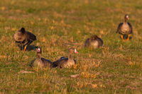 greater white-fronted gooses - anser albifrons