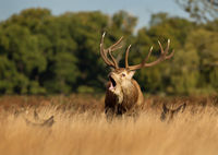 Cervus elaphus, Red deer, Europe