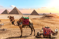 Camels near the Pyramids, beautiful Egyptian scenery