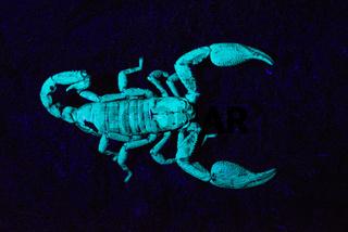 Scorpion under UV light, Scorpiones, Matheran, Maharashtra, India.