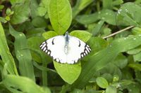 Paper kite butterfly, Idea leuconoe near Pune, Maharashtra, India.