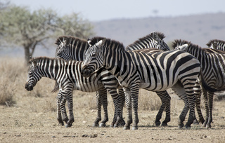 herd Plains Zebras resting in the savannah on a hot day during the dry season