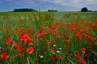 red poppy on the Swabian Alb, germany