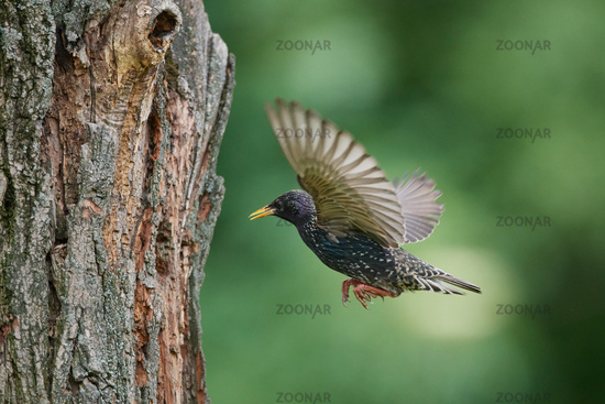 Common starling from Hungary in flight