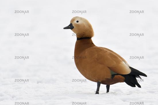 Ruddy Shelduck * Tadorna ferruginea * in winter, resting on snow covered farmland, invasive species