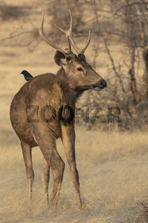 male sambar who stands on a forest glade near a small tree on a winter sunny evening