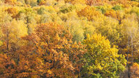 panoramic view with orange oak in yellow forest