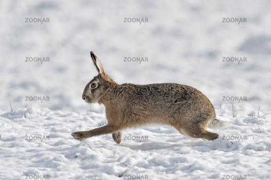 Brown Hare / European Hare * Lepus europaeus * in winter, running through snow