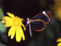 tropical glass butterfly on yellow blossom