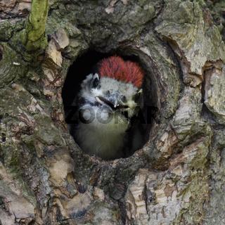 fordernd... Buntspecht *Dendrocopos major*, Jungvogel in Bruthöhle