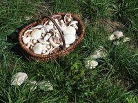 Mushroom basket with meadow mushrooms