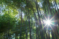 bamboo forest closeup