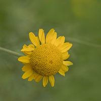 Yellow Chamomile  'Anthemis tinctoria'