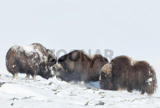 Male Musk oxen fighting in the snow