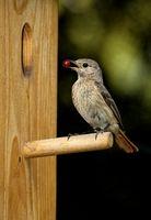 common redstart at the nesting box
