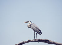 Great Blue Heron perching in Florida wetlands