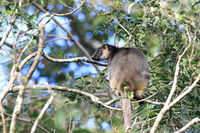 A Lumholtz's tree-kangaroo (Dendrolagus lumholtzi) rests high in a tree in a dry forest  Queensland,