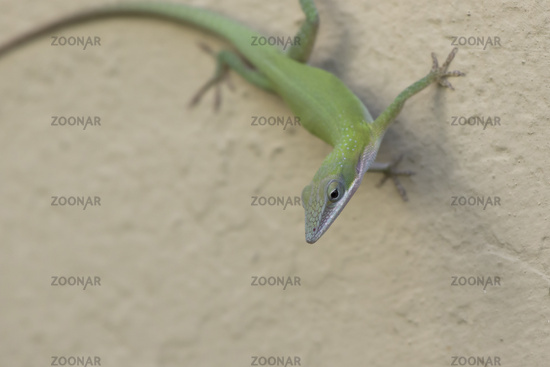 Cuban green anole that sits in the shade on the wall of the building on a bright sunny day