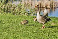 Graugans-Familie | greylag goose family