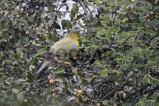 Yellow-footed Green Pigeon sitting in the branches of a tree among the leaves with ripe fruits