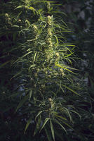 Marijuana is grown for medical purposes, Uruguay
