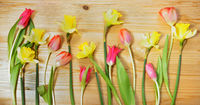 Frühling, Ostern, Narzissen, Osterglocken, Tulpen, Banner, Header, Headline, Panorama, Textraum,