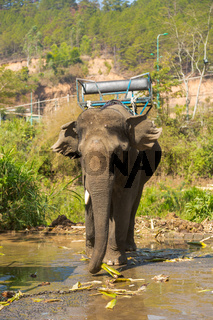 Elephant with a chair on the back
