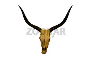 bull head skull long horn on white background.