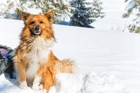 Cute red dog sitting on snow