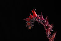 Flowers of the Echeveria Afterglow succulent plant