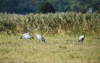 Cranes foraging