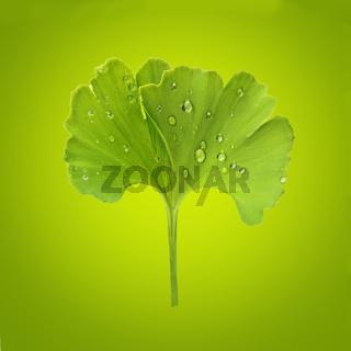 Ginkgo leaf with dew.