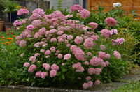 Panicled Hydrangea, Hydrangea paniculata,