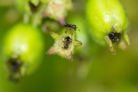 A colony of black worker ants on top of bright green plant buds in macro detail.